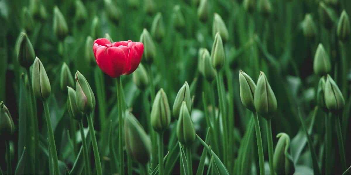 selective focus photo of a red tulip flower 2480072 scaled e1585607531832